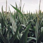 OGM | China prepara-se para aprovar produção de soja e milho GM