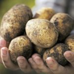 «Produzir mais batatas pode ser uma forma de combater as alterações climáticas»